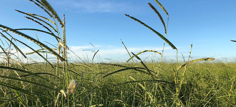rama_sementes-forrageiras-agricultura-pecuaria_produto-brachiaria-brizantha_caracteristicas-1
