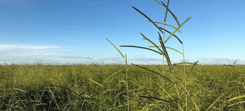 rama_sementes-forrageiras-agricultura-pecuaria_produto-brachiaria-brizantha_caracteristicas-3