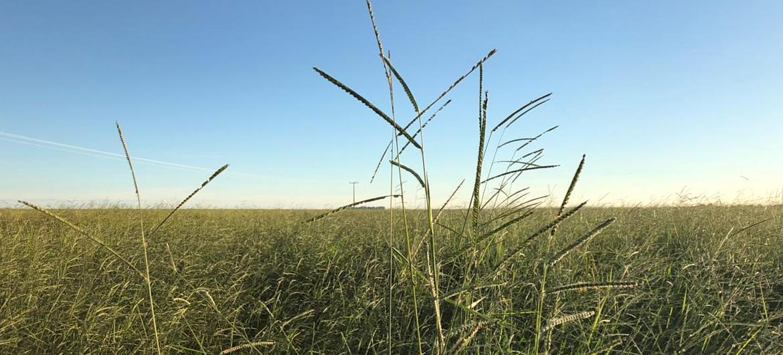 rama_sementes-forrageiras-agricultura-pecuaria_produto-brachiaria-brizantha_caracteristicas-4